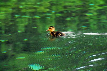 Malá kačička na hladine Zeleného plesa